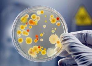 Стафилококк – это шарообразная бактерия, которая относится к группе грамположительных неподвижных кокков