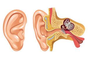 Барабанная перепонка отделяет наружный слуховой проход от среднего уха
