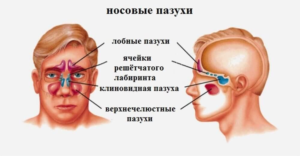 Строение носовых пазух